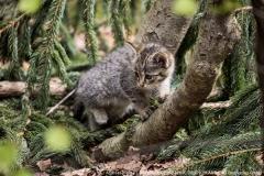 Nur mit Glück bekommt man eine Wildkatze zu sehen