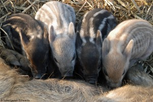 Wollschwein-Nachwuchs Foto: Schaugarten