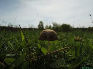 Pilz auf der Wiese Foto: Silke Böttcher