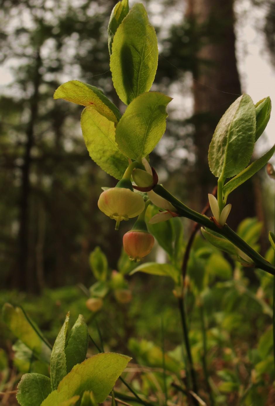 Blühende Heidelbeere Foto: Silke Böttcher
