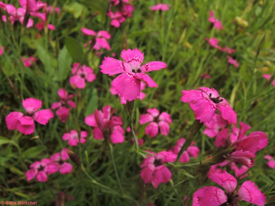 Heide-Nelke Foto: Silke Böttcher