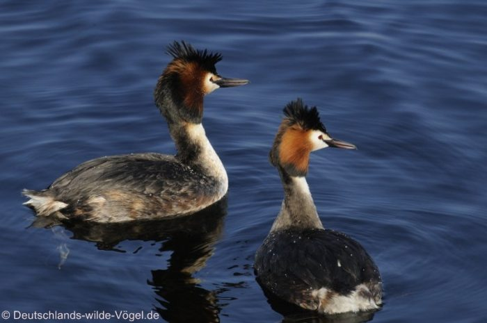 Haubentaucher Foto: Deutschlands-wilde-Vögel.de
