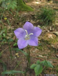 Pfirsichblättrige Glockenblume Foto: Silke Böttcher