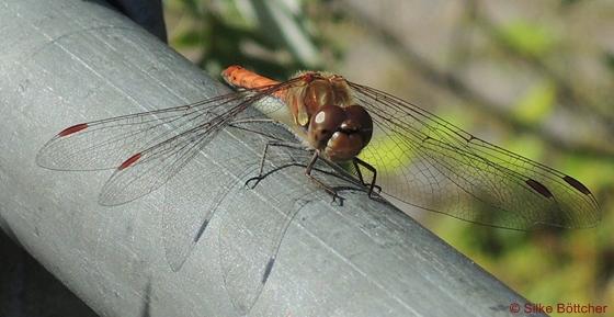 Blutrote Heidelibelle, Insekt, Libelle