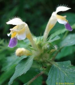 Bunter Hohlzahn, Pflanze, Blüte