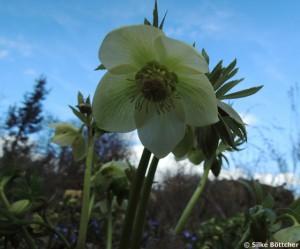 Christrose Blüte