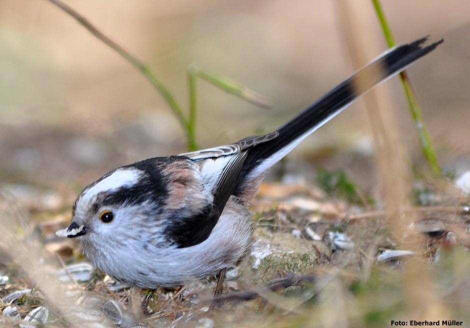 Schwanzmeise Vogel