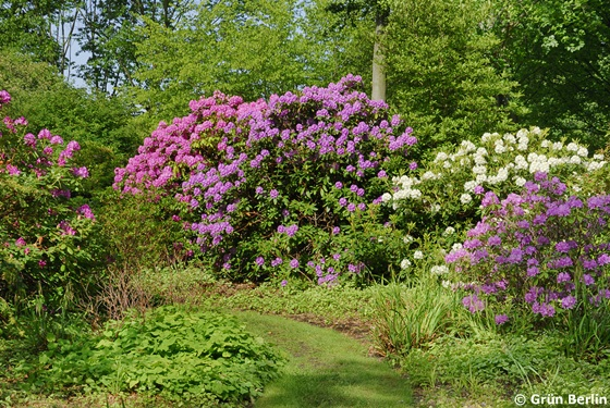 rhododendron bl te im britzer garten. Black Bedroom Furniture Sets. Home Design Ideas