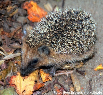 Igel im Winter