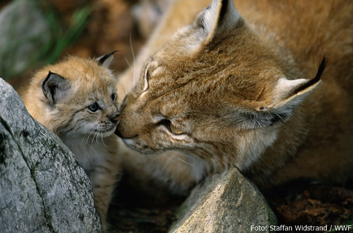 Luchsmutter mit Baby