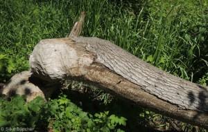 Vom Biber gefällter Stamm in den Gosener Wiesen
