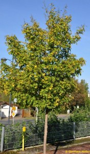 Feldahorn als Straßenbaum